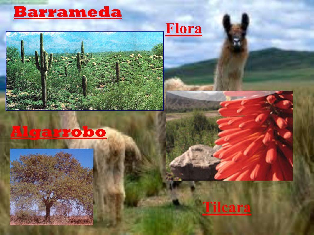 Barrameda Flora Algarrobo Tilcara