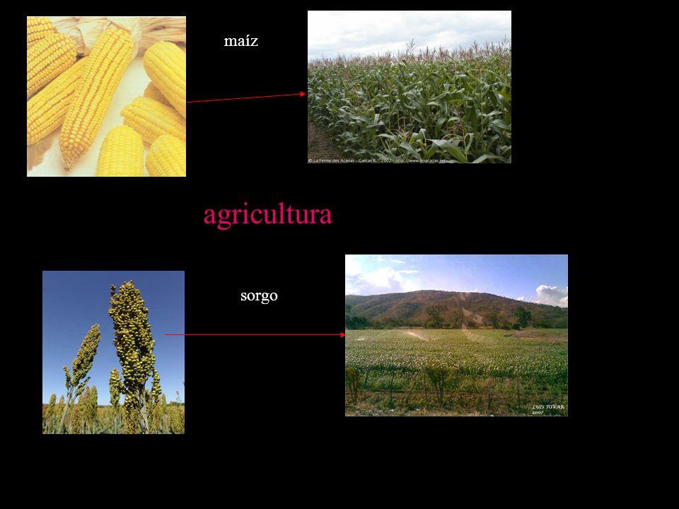 maíz agricultura sorgo