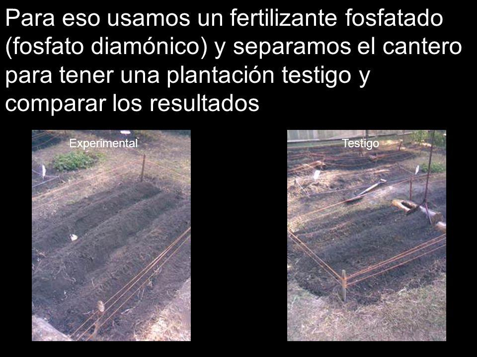 Para eso usamos un fertilizante fosfatado (fosfato diamónico) y separamos el cantero para tener una plantación testigo y comparar los resultados