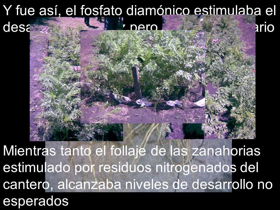 Y fue así, el fosfato diamónico estimulaba el desarrollo de la raíz pero a nivel secundario