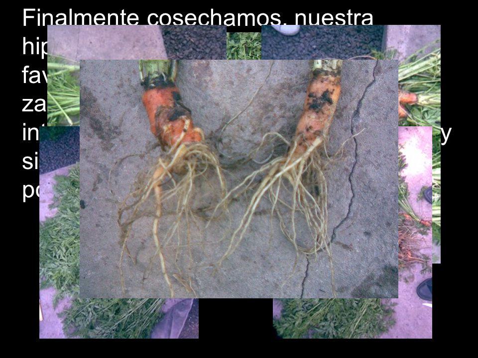 Finalmente cosechamos, nuestra hipótesis de que el fosfato diamónico favorece el desarrollo de la raíz de la zanahoria fue rechazada, así que si les interesa plantar zanahorias no lo usen.