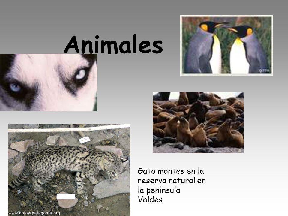 Animales Gato montes en la reserva natural en la península Valdes.