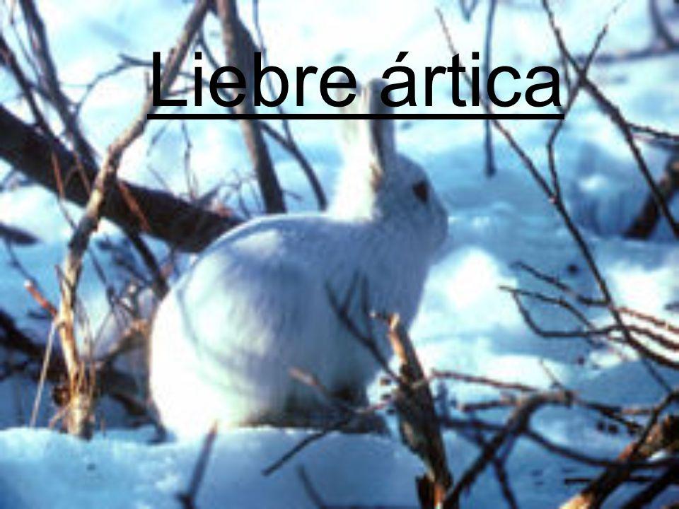 Liebre ártica