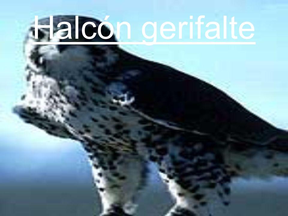 Halcón gerifalte