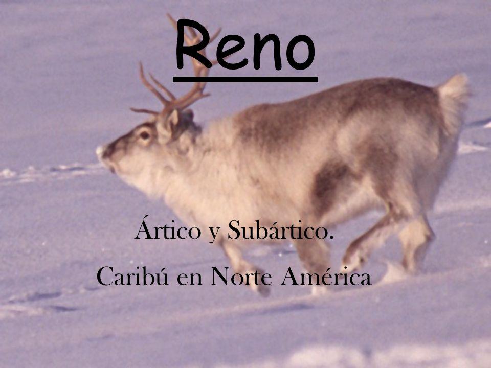 Reno Ártico y Subártico. Caribú en Norte América