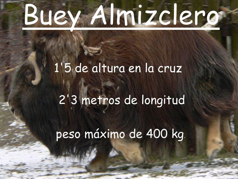 Buey Almizclero 1 5 de altura en la cruz 2 3 metros de longitud