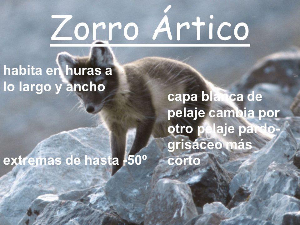 Zorro Ártico habita en huras a lo largo y ancho