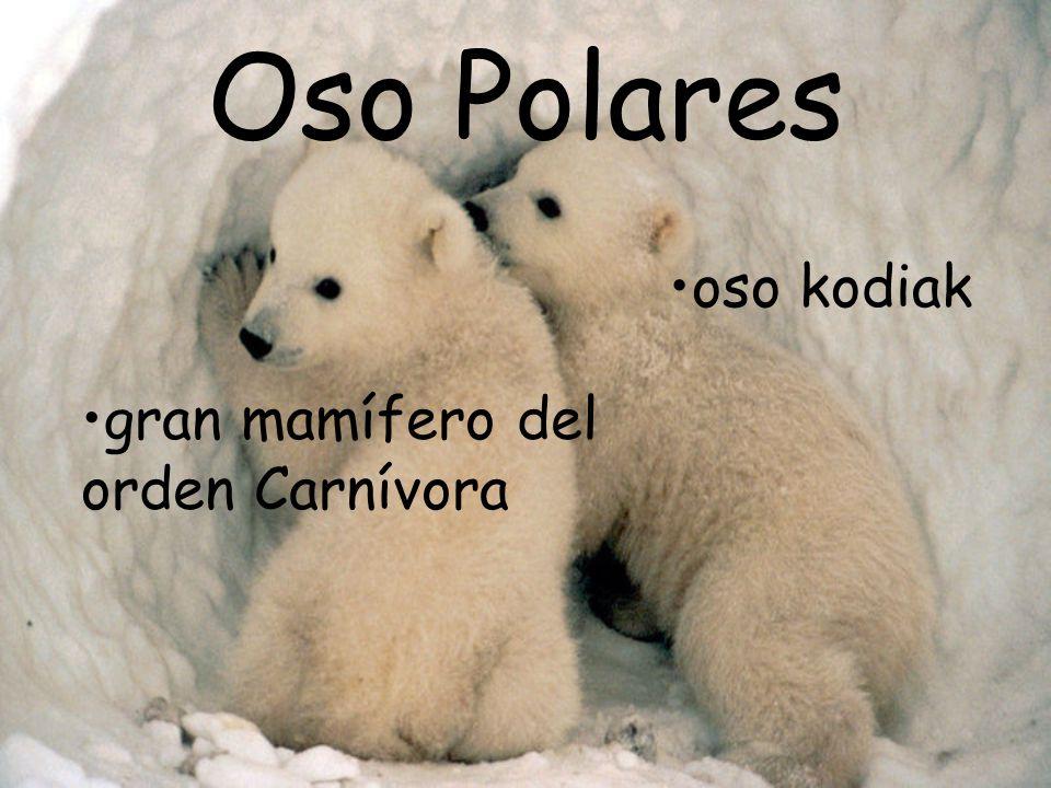 Oso Polares oso kodiak gran mamífero del orden Carnívora