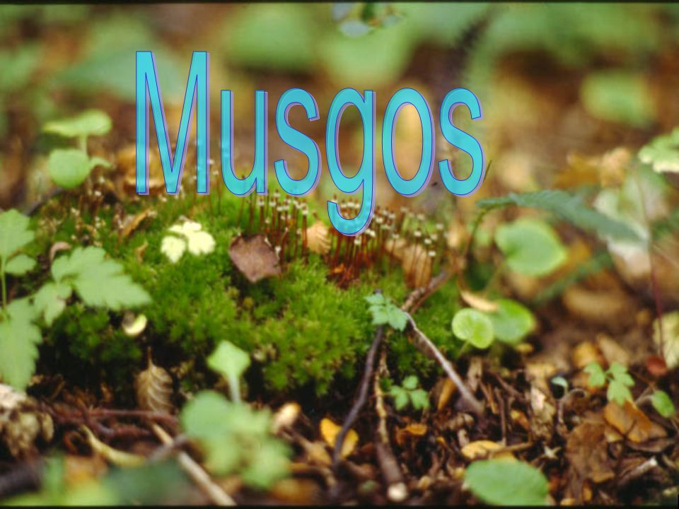 Musgos