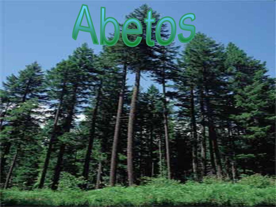 Abetos