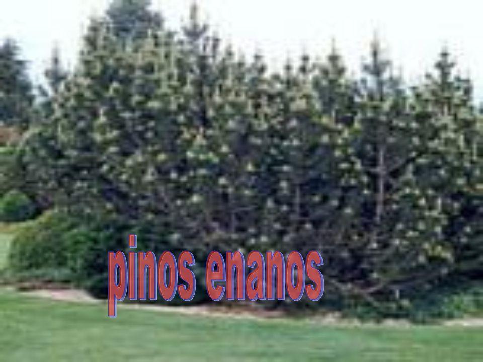 pinos enanos