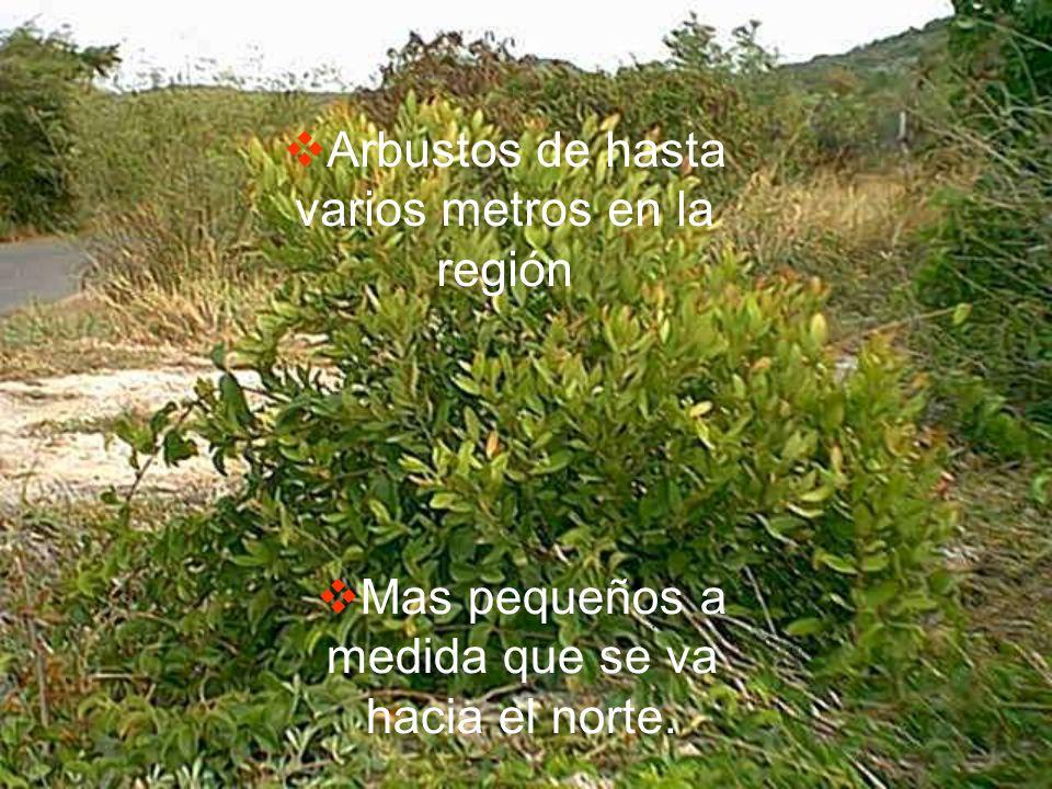 Arbustos de hasta varios metros en la región