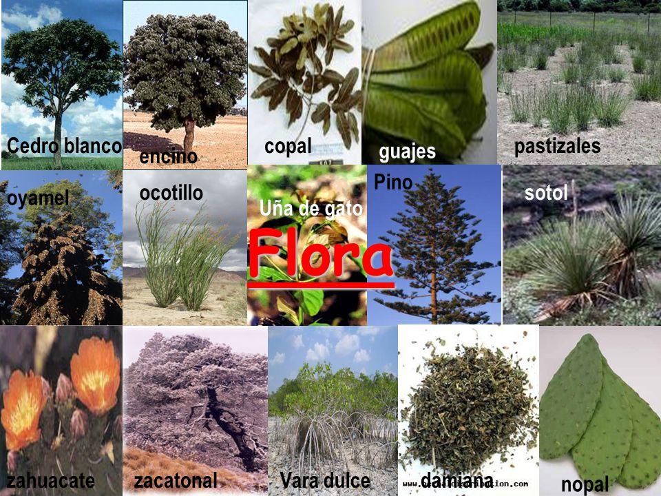 Flora Cedro blanco copal pastizales guajes encino Pino ocotillo sotol