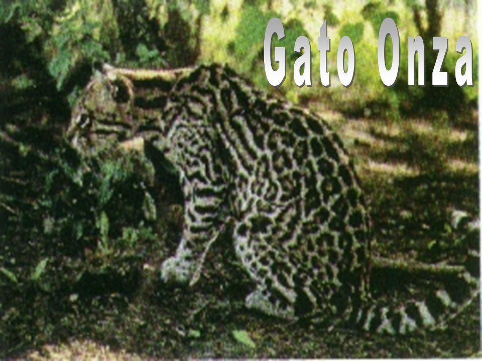 Gato Onza