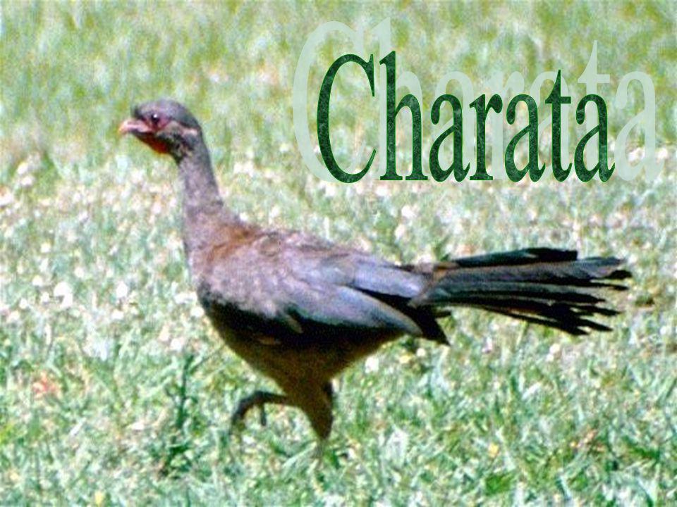 Charata