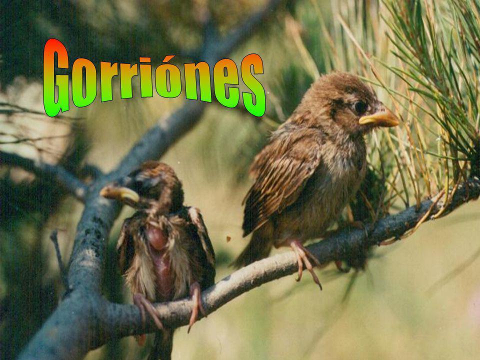 Gorriónes