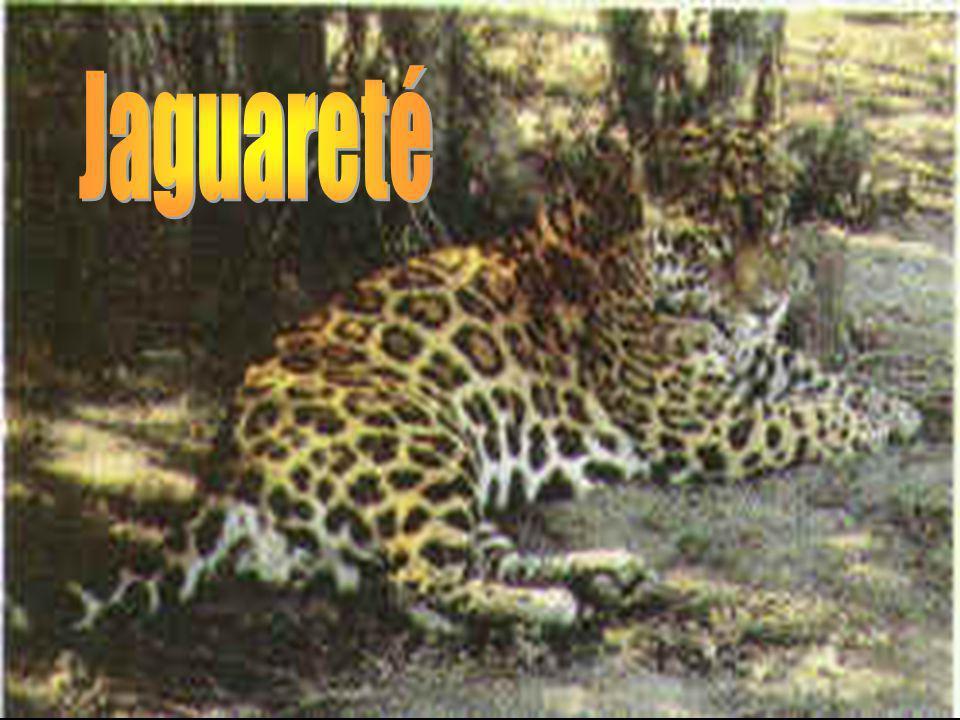 Jaguareté