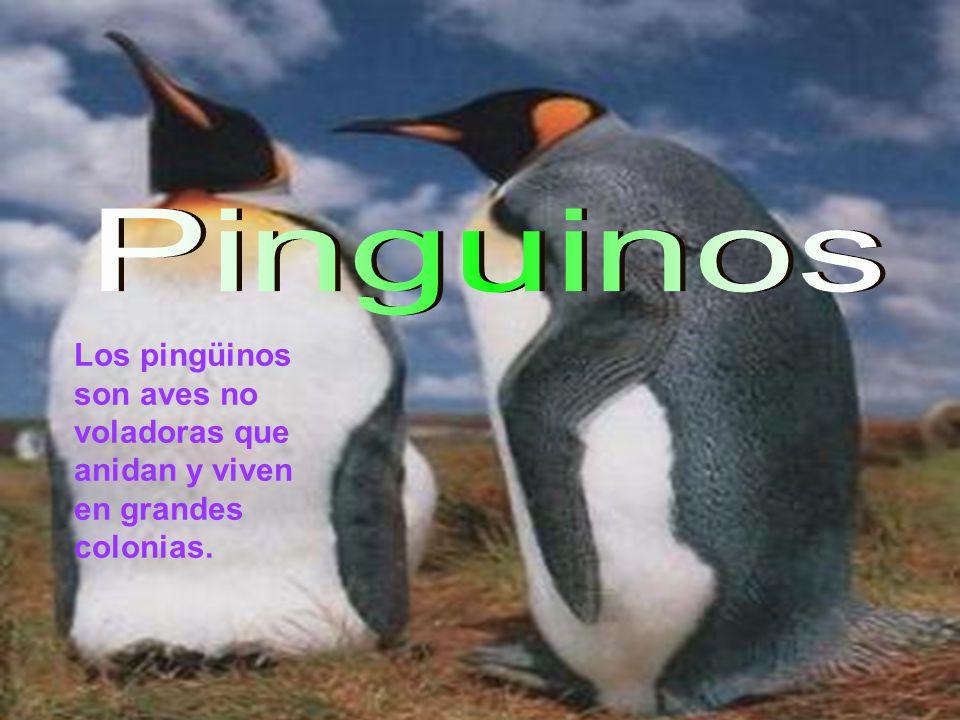 Pinguinos Los pingüinos son aves no voladoras que anidan y viven en grandes colonias.