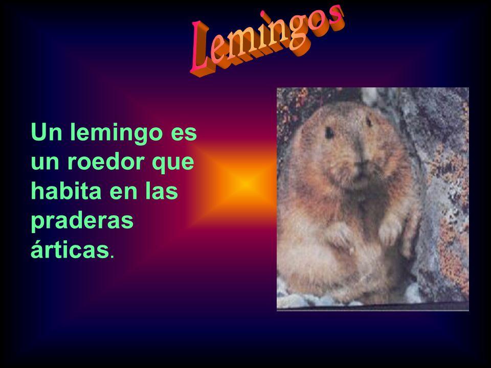Lemingos Un lemingo es un roedor que habita en las praderas árticas.