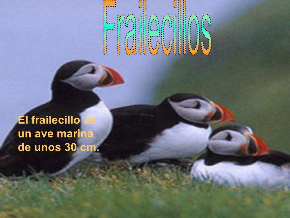 Frailecillos El frailecillo es un ave marina de unos 30 cm.