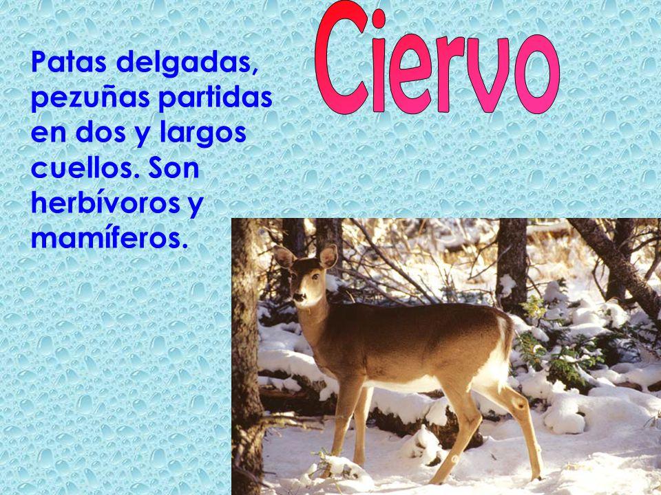 Ciervo Patas delgadas, pezuñas partidas en dos y largos cuellos. Son herbívoros y mamíferos.