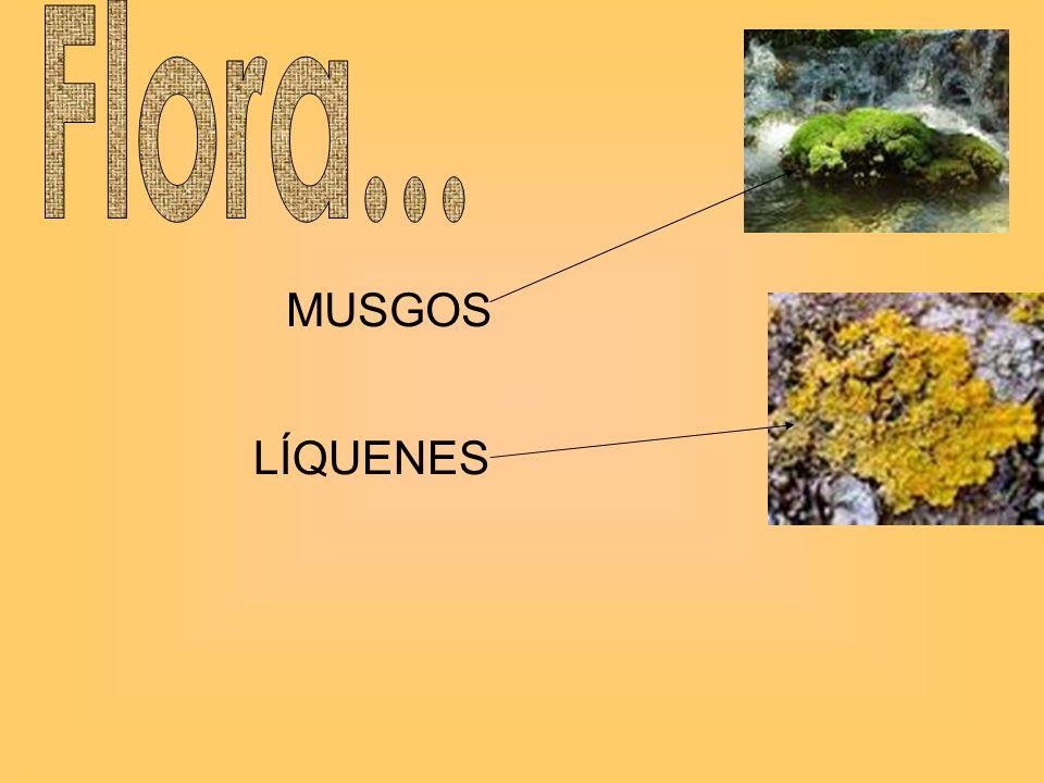 Flora... MUSGOS LÍQUENES