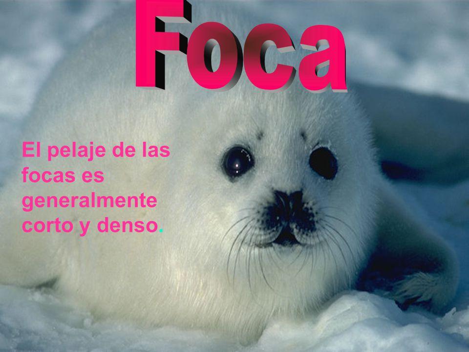 Foca El pelaje de las focas es generalmente corto y denso.