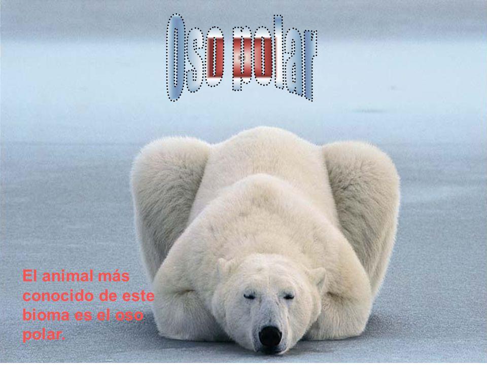 Oso polar El animal más conocido de este bioma es el oso polar.