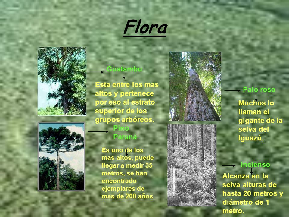 Flora Guatambu. Esta entre los mas altos y pertenece por eso al estrato superior de los grupos arbóreos.