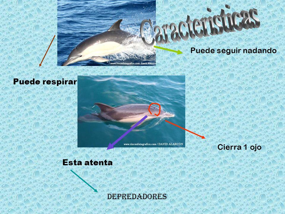 Caracteristicas Puede seguir nadando Puede respirar Cierra 1 ojo