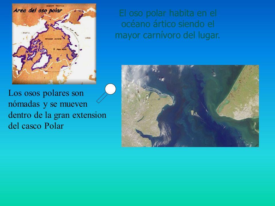 El oso polar habita en el océano ártico siendo el mayor carnívoro del lugar.