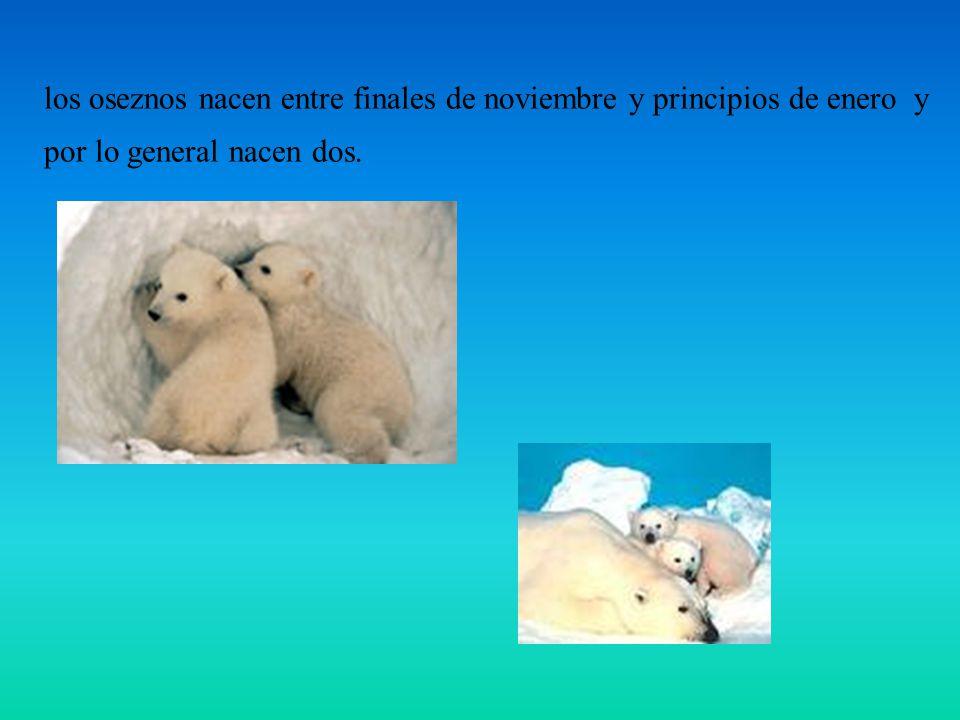 los oseznos nacen entre finales de noviembre y principios de enero y