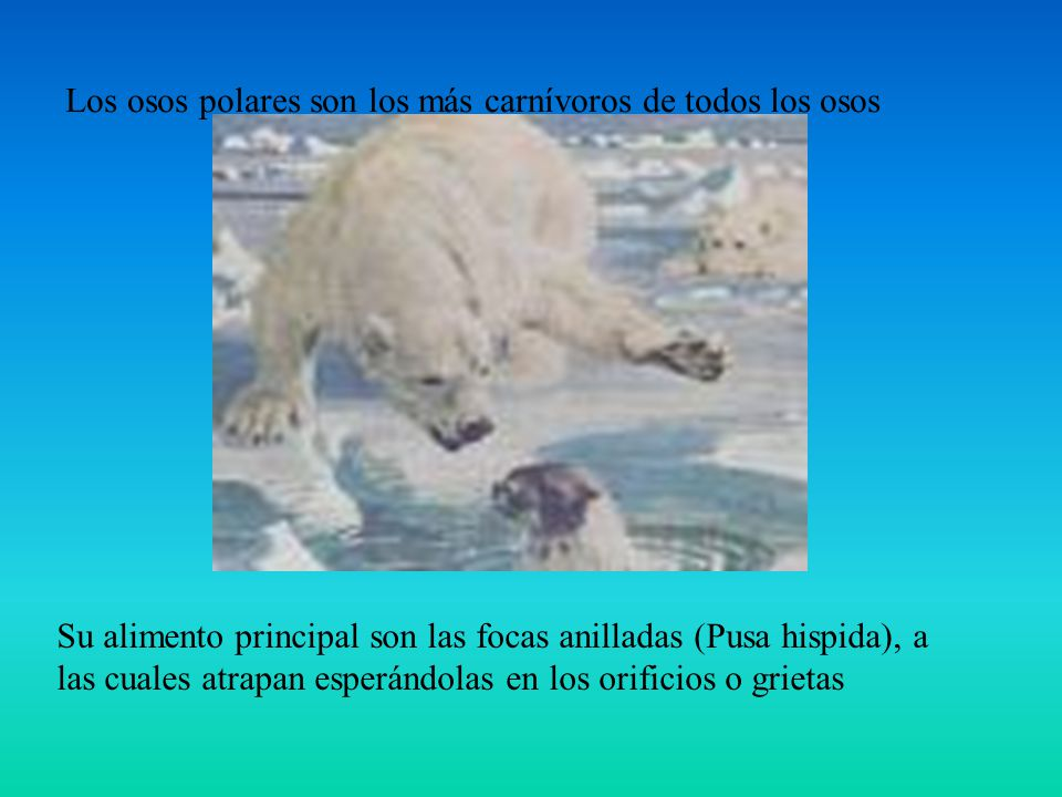 Los osos polares son los más carnívoros de todos los osos