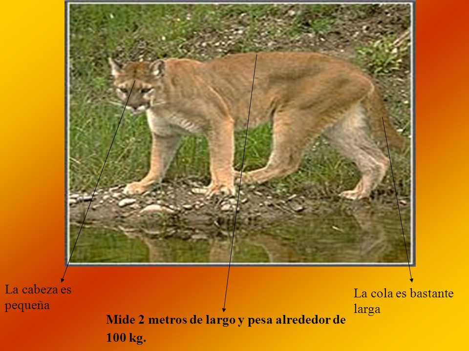 La cabeza es pequeña La cola es bastante larga Mide 2 metros de largo y pesa alrededor de 100 kg.