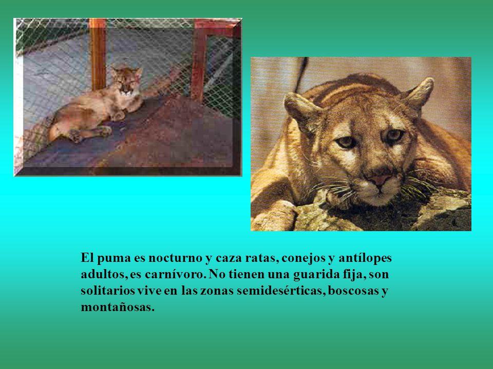 El puma es nocturno y caza ratas, conejos y antílopes adultos, es carnívoro.