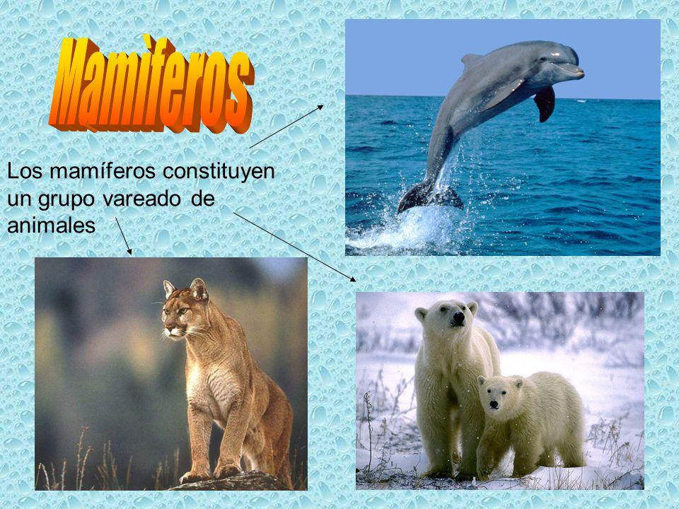 Mamìferos Los mamíferos constituyen un grupo vareado de animales