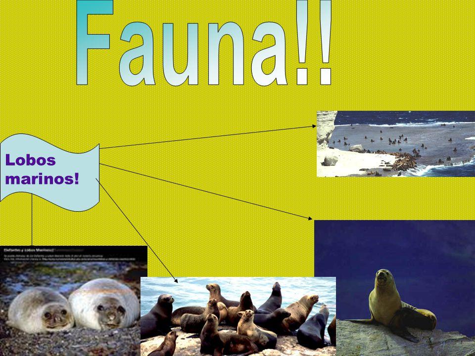 Fauna!! Lobos marinos!