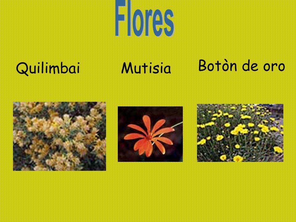 Flores Botòn de oro Quilimbai Mutisia