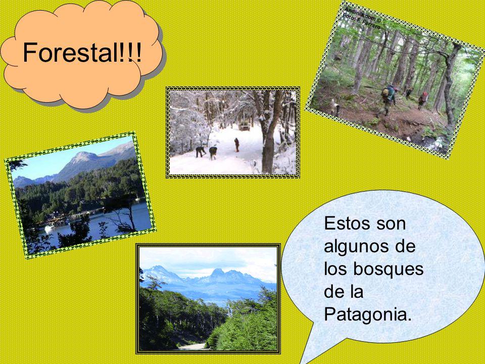 Forestal!!! Estos son algunos de los bosques de la Patagonia.