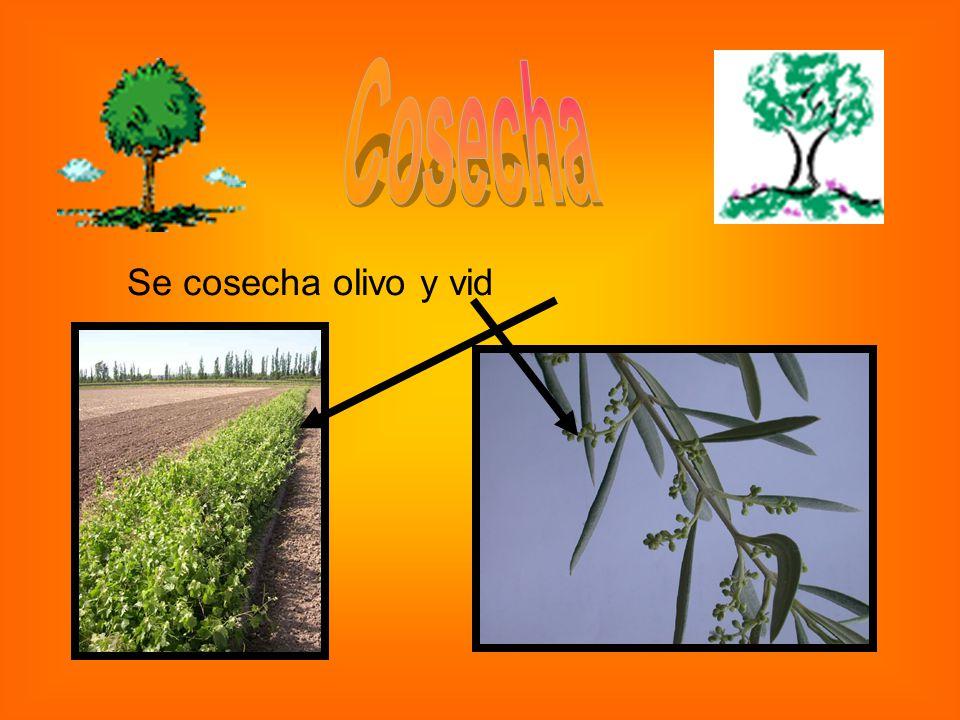 Cosecha Se cosecha olivo y vid