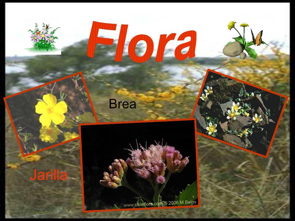 Flora Brea Jarilla