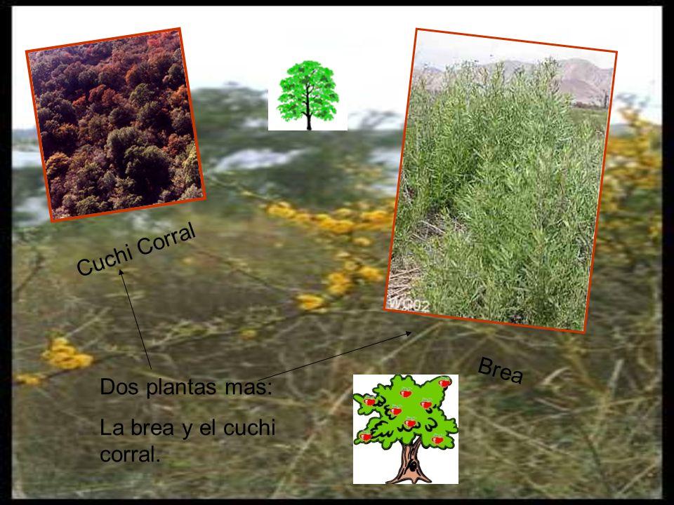 Cuchi Corral Brea Dos plantas mas: La brea y el cuchi corral.