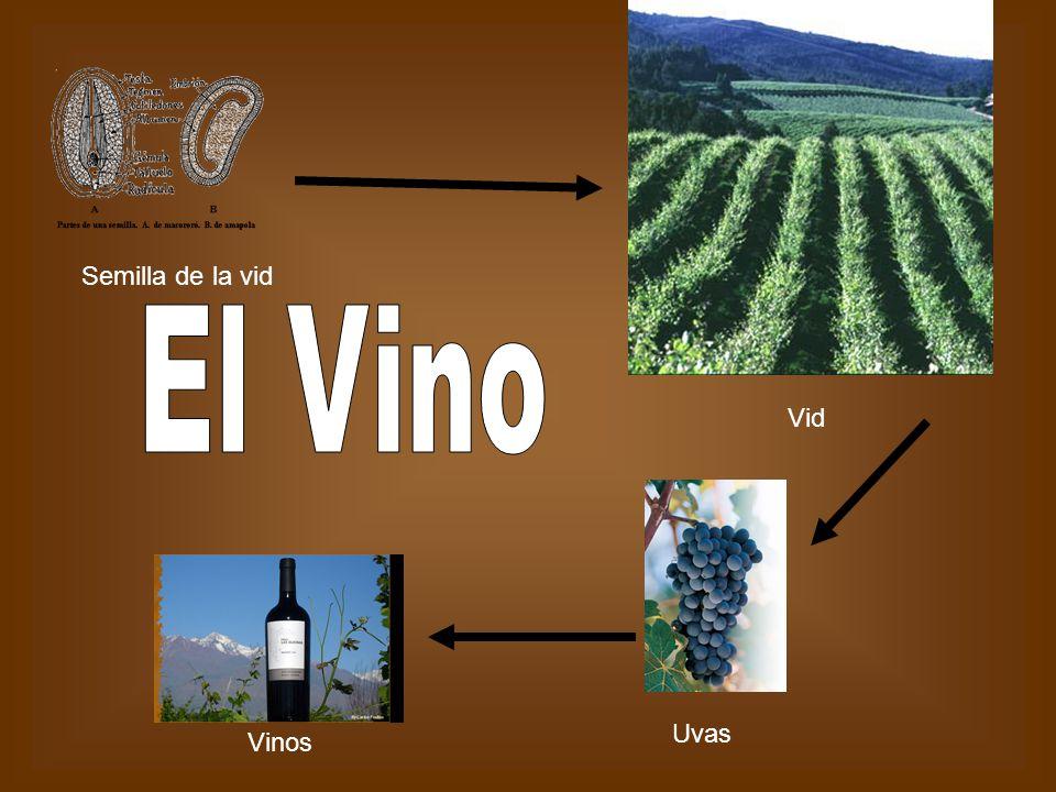 Semilla de la vid El Vino Vid Uvas Vinos
