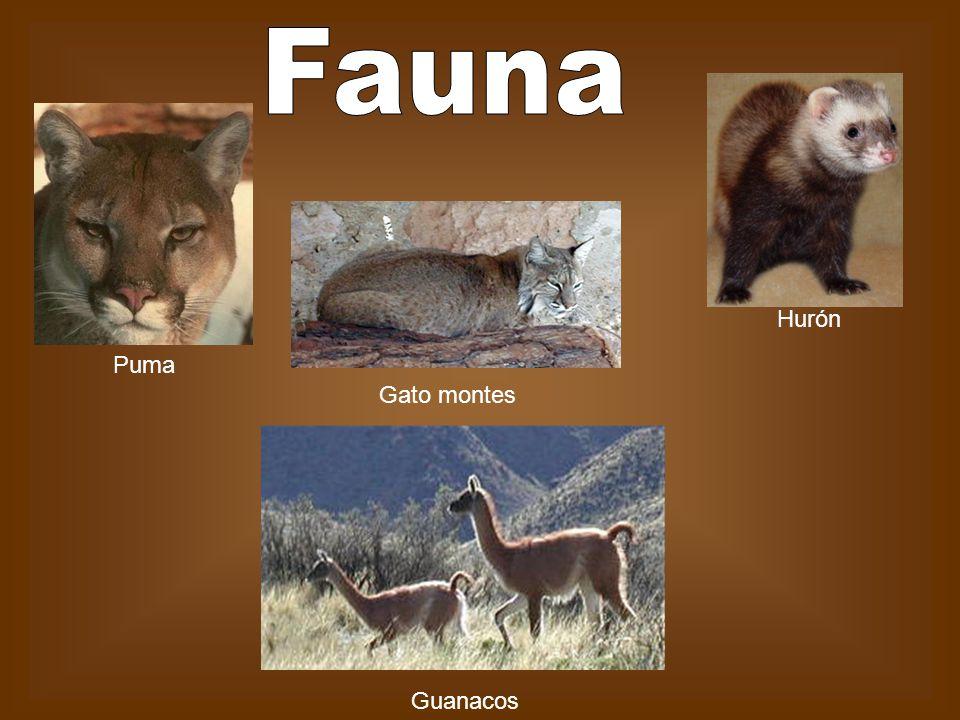 Fauna Hurón Puma Gato montes Guanacos