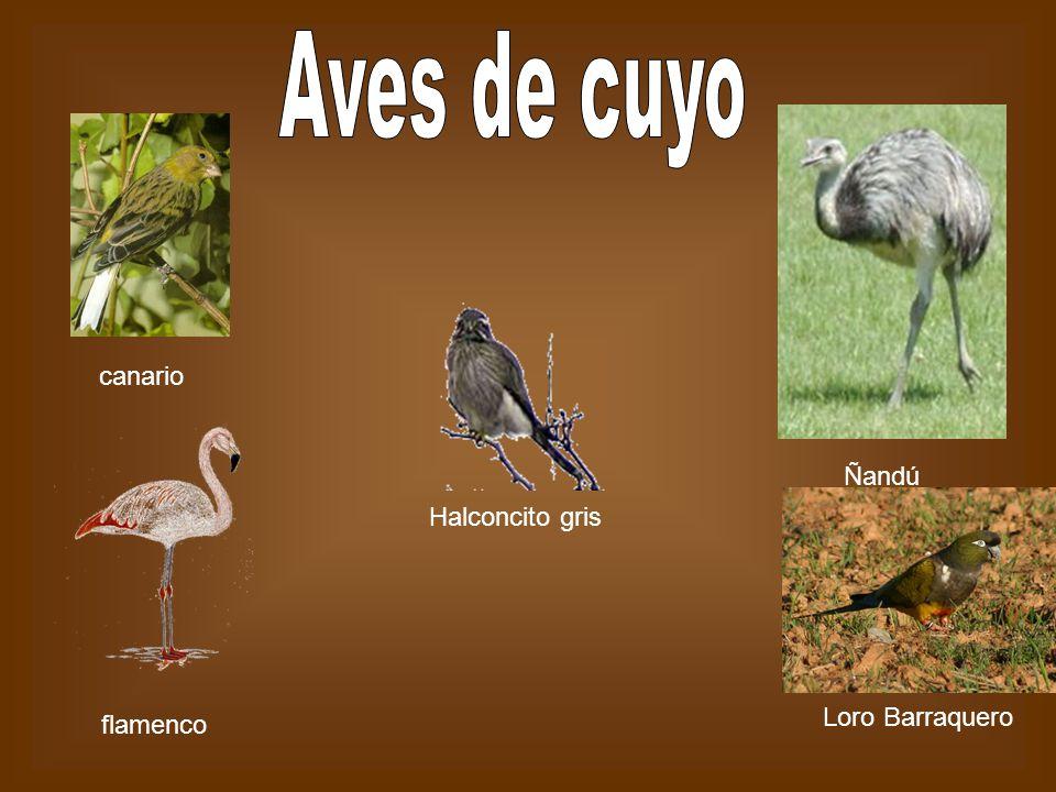 Aves de cuyo canario Ñandú Halconcito gris Loro Barraquero flamenco