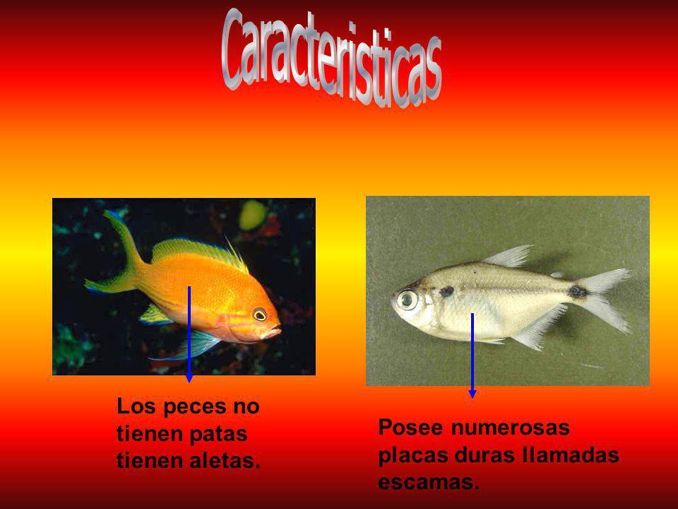 Caracteristicas Los peces no tienen patas tienen aletas.