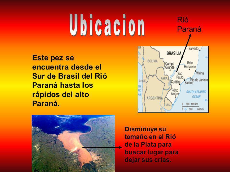 Ubicacion Rió Paraná. Este pez se encuentra desde el Sur de Brasil del Rió Paraná hasta los rápidos del alto Paraná.