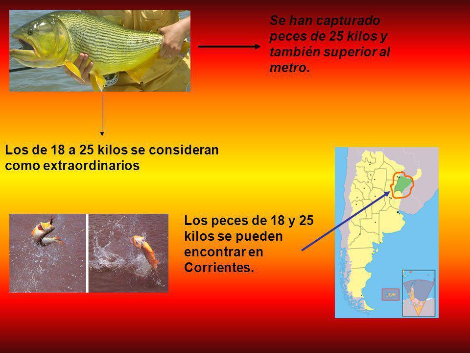 Se han capturado peces de 25 kilos y también superior al metro.
