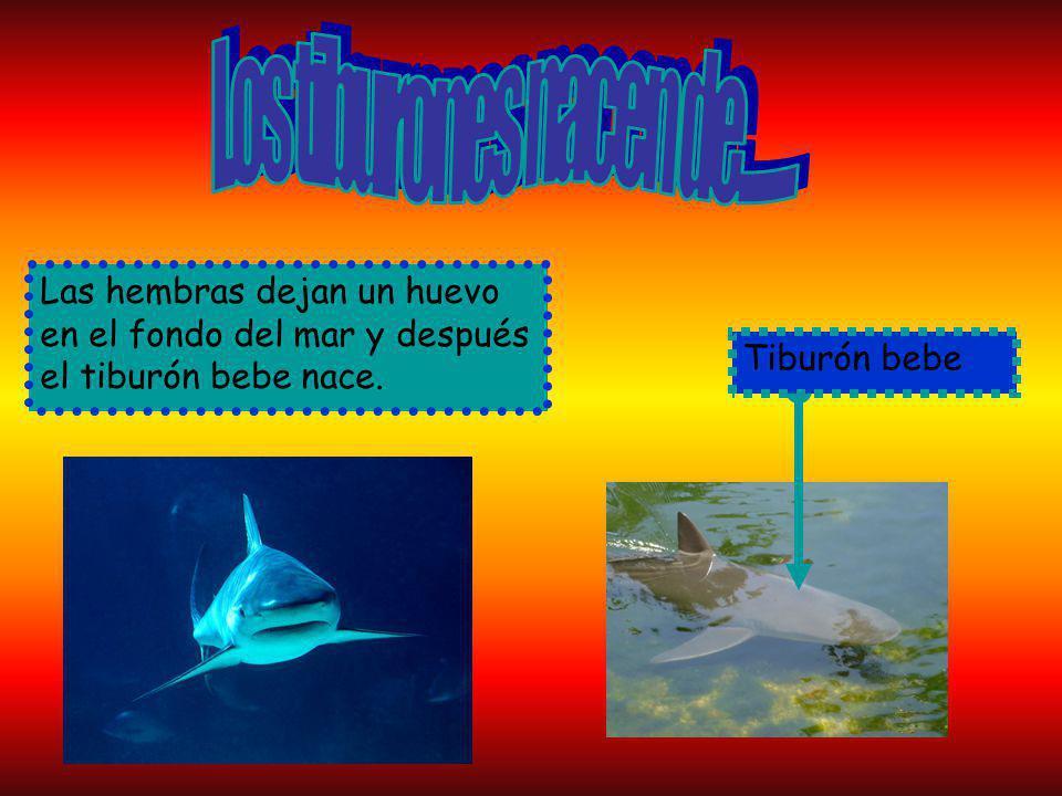 Los tiburones nacen de......... Las hembras dejan un huevo en el fondo del mar y después el tiburón bebe nace.