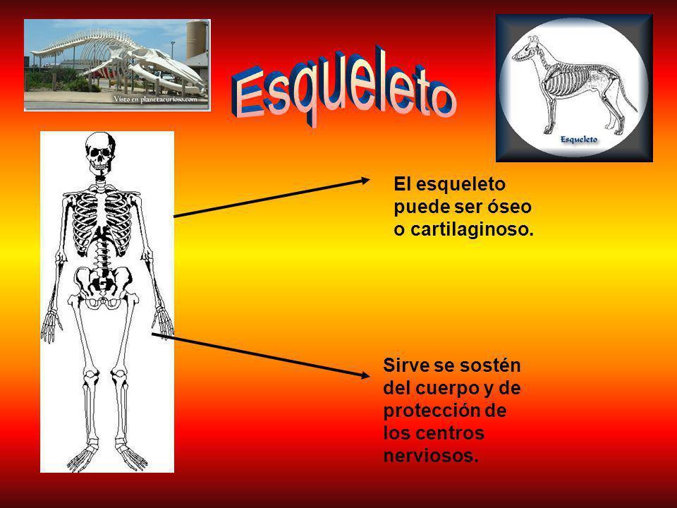 Esqueleto El esqueleto puede ser óseo o cartilaginoso.